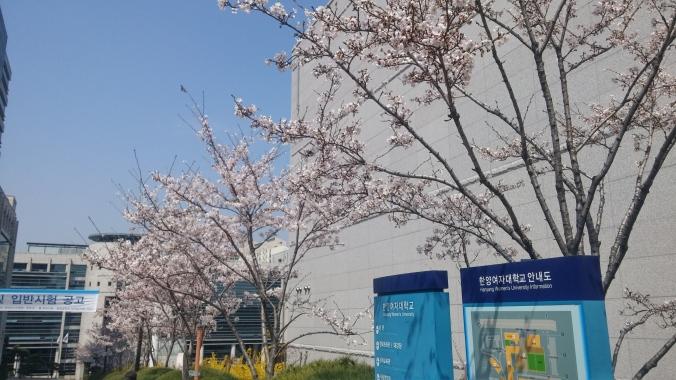 학교 벚꽃 2