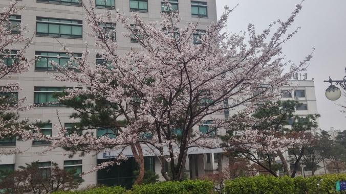 학교 벚꽃